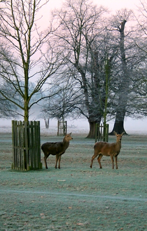 Deer at dawn in Bushy Park