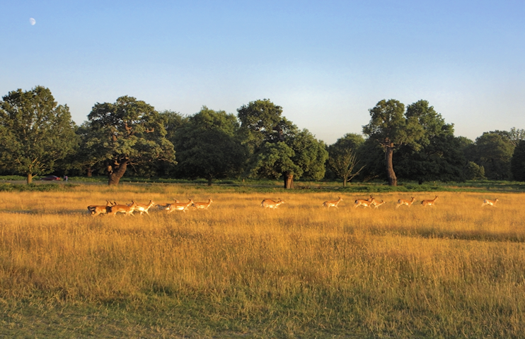 Deer in Richmond Park, late on a summer afternoon