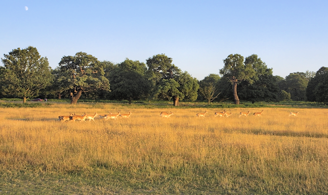 Deer in Richmond Park, late on a summer's afternoon
