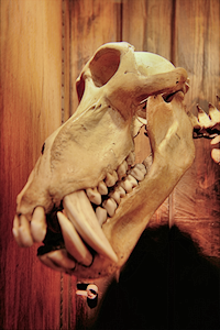 The skull of a baboon at the Grant Museum, with distinctive protruding canine teeth