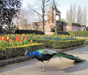 Holland Park with a strutting peacock