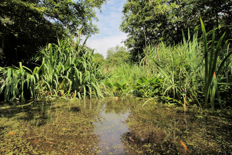 Camley Street pond in June 2017