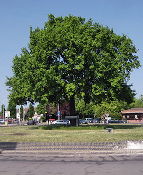 Fullwell Cross Roundabout, with the new Fairlop Oak*