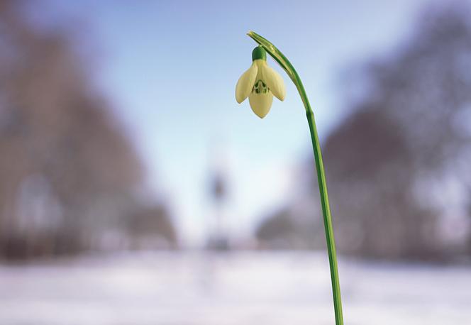 Snowdrop in Kensington Gardens