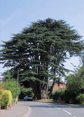 The Aperfield Cedar, Aperfield Road