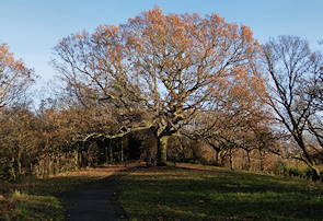 The Oak of Honor, One Tree Hill