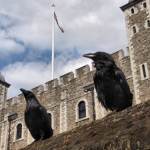 Ravens of the Tower