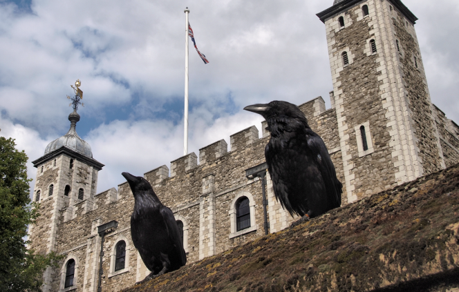 Two_ravens_and_the_Tower_of_London - 664