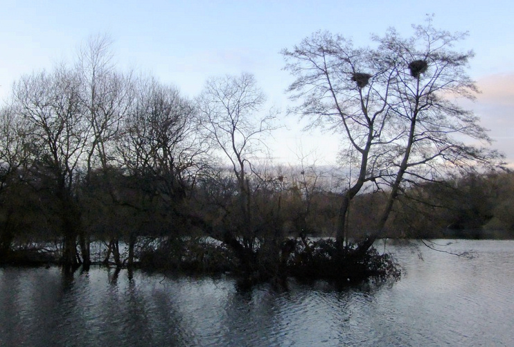 Herons' nests in alders at Little Britain Lake