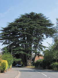 Hidden London: The Aperfield Cedar, Aperfield Road