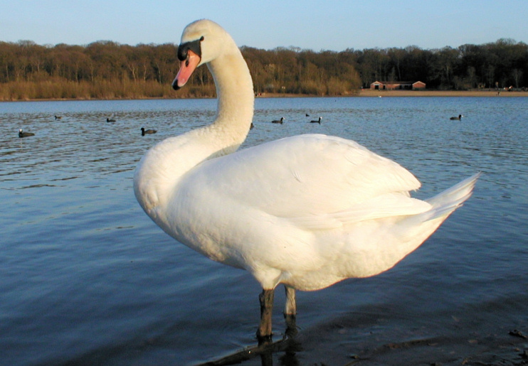 Hidden London: Ruislip Lido swan